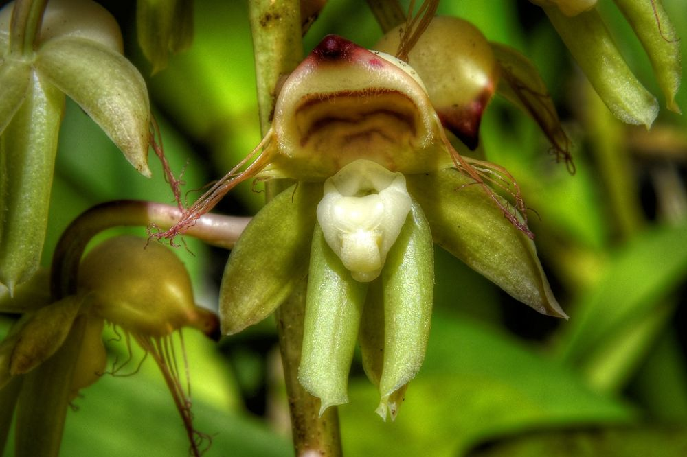 Catasetum discolor, male flower by Rui Oliveira Santos