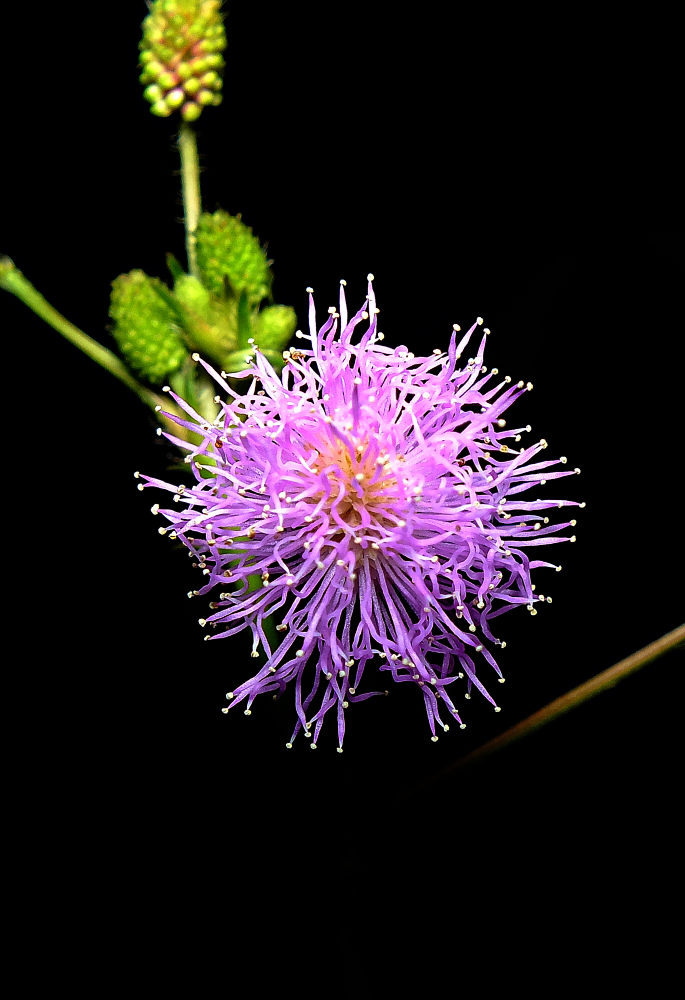 Mimosa pudica by Rui Oliveira Santos
