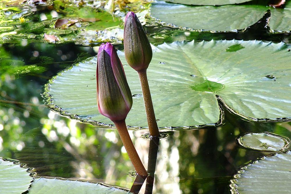 Aquatic flower by Rui Oliveira Santos