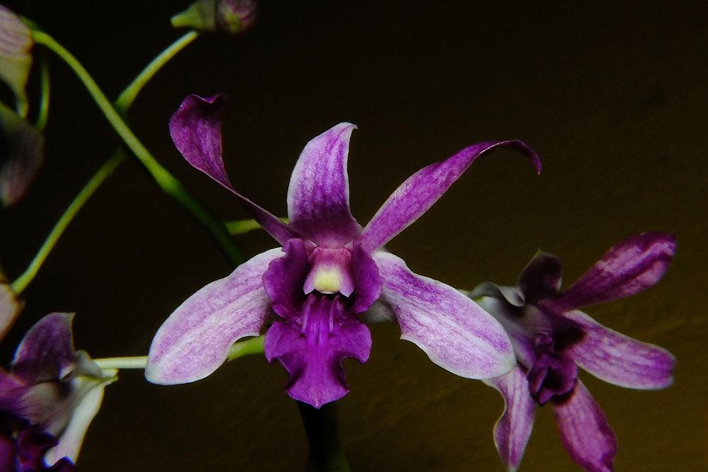 Dendrobium hybrid by Rui Oliveira Santos