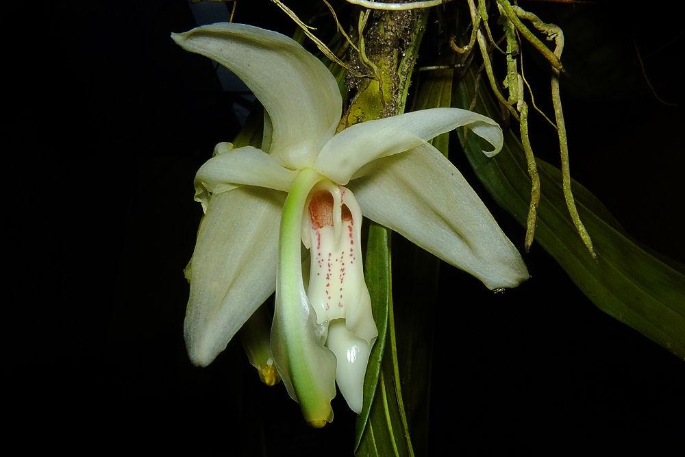 Stanhopea grandiflora by Rui Oliveira Santos