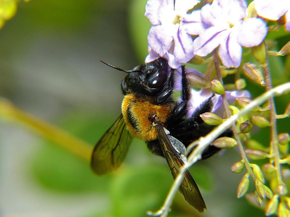 bumblebee by Rui Oliveira Santos