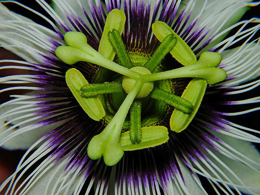 Passiflora edulis by Rui Oliveira Santos