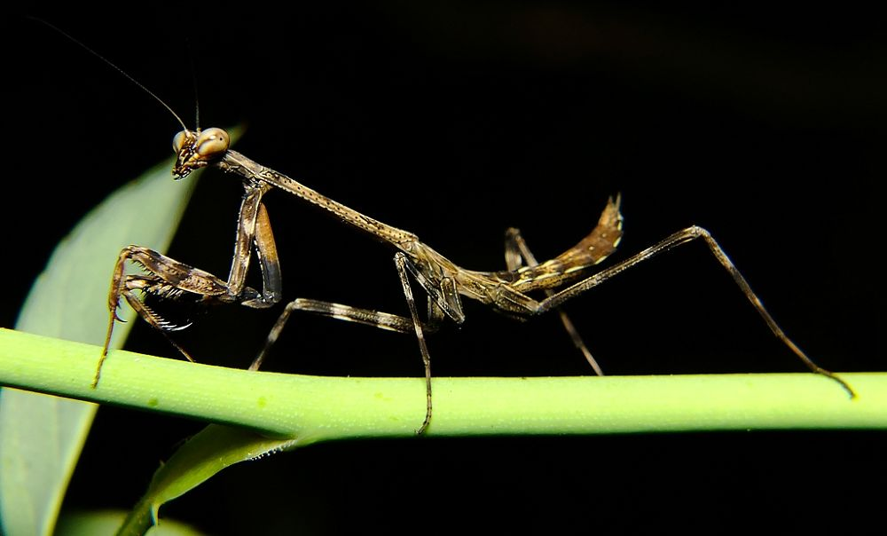 little Mantis by Rui Oliveira Santos