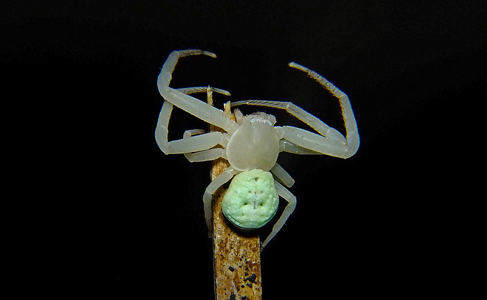 family Thomisidae, Misumenops sp. by Rui Oliveira Santos