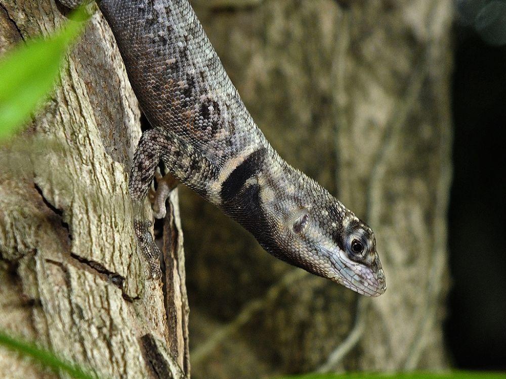 lizard by Rui Oliveira Santos