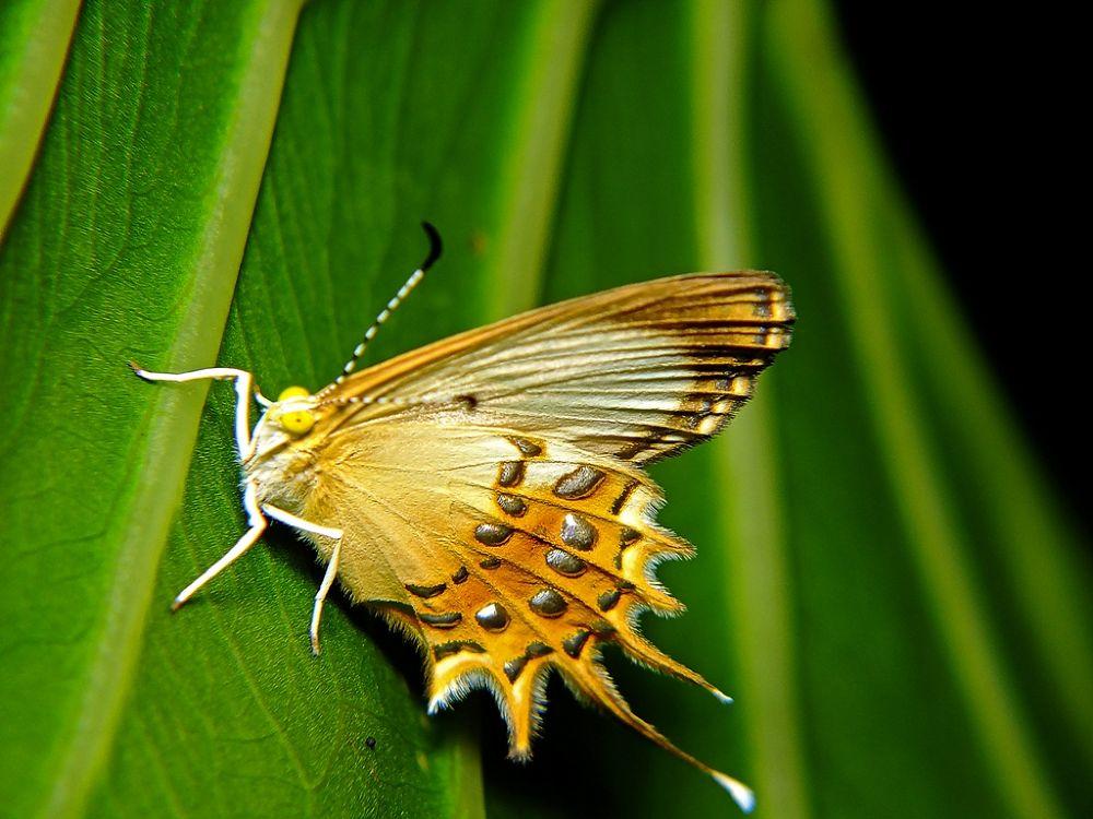 Helicopis cupido (Riodinidae: Riodininae: Helicopini) by Rui Oliveira Santos