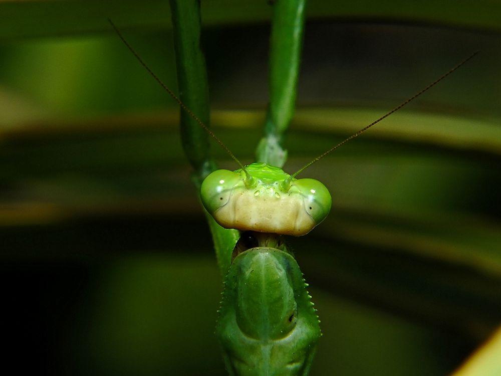 Photo in Nature #mantis #louva deus #brasil #amazonia #abaetetuba #fuji hs25 #rui santos #rui para #nature #natureza