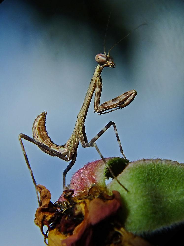 Mantis by Rui Oliveira Santos