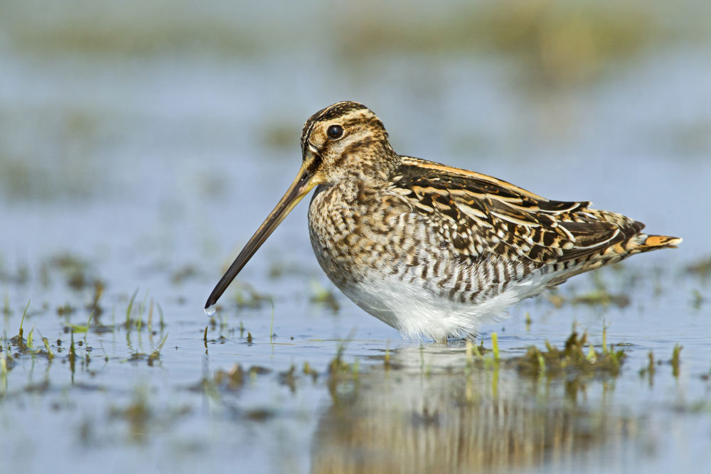 Common Snipe, the Netherlands (©Roy de Haas/www.agami.nl) by Roydehaas