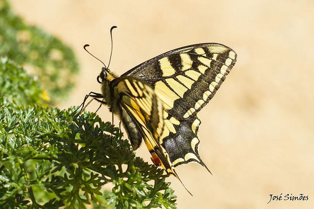 Papilio machaon  by Jose Simoes