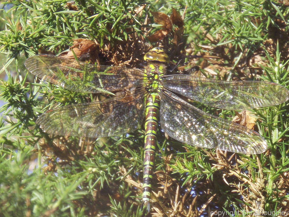 Southern hawker by Chris Roughley