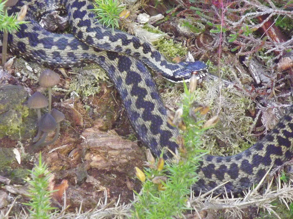 Photo in Nature #adder #snake #dorset #england #wildlife
