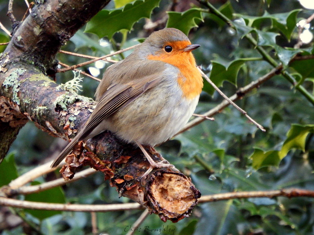 Robin by Chris Roughley
