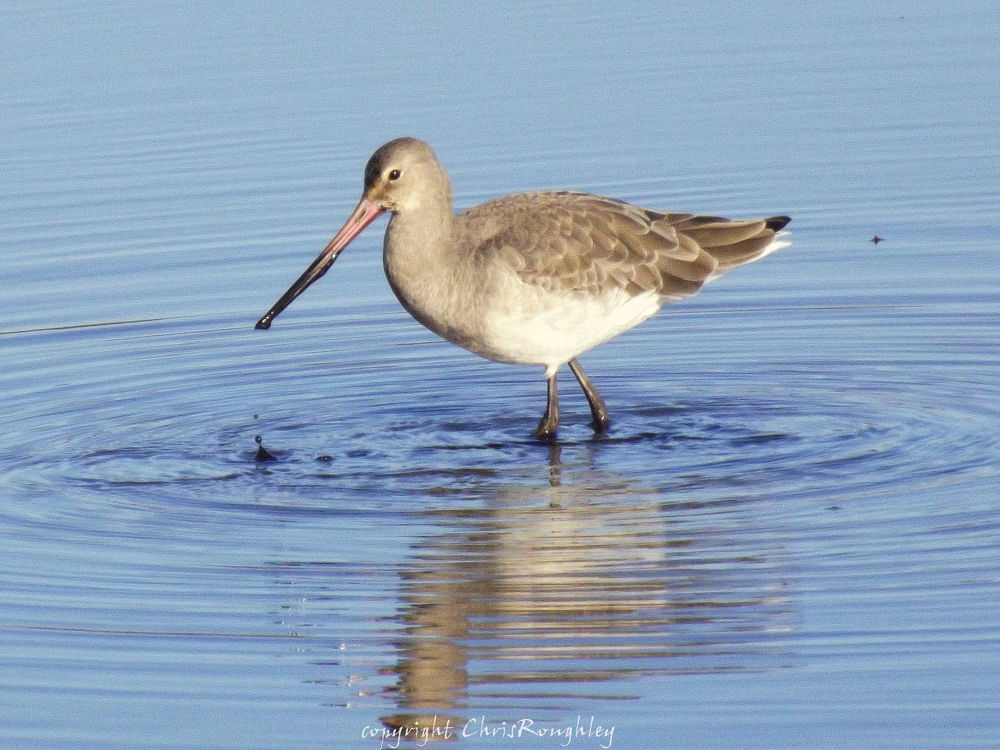 Black-tailed Godwit by Chris Roughley