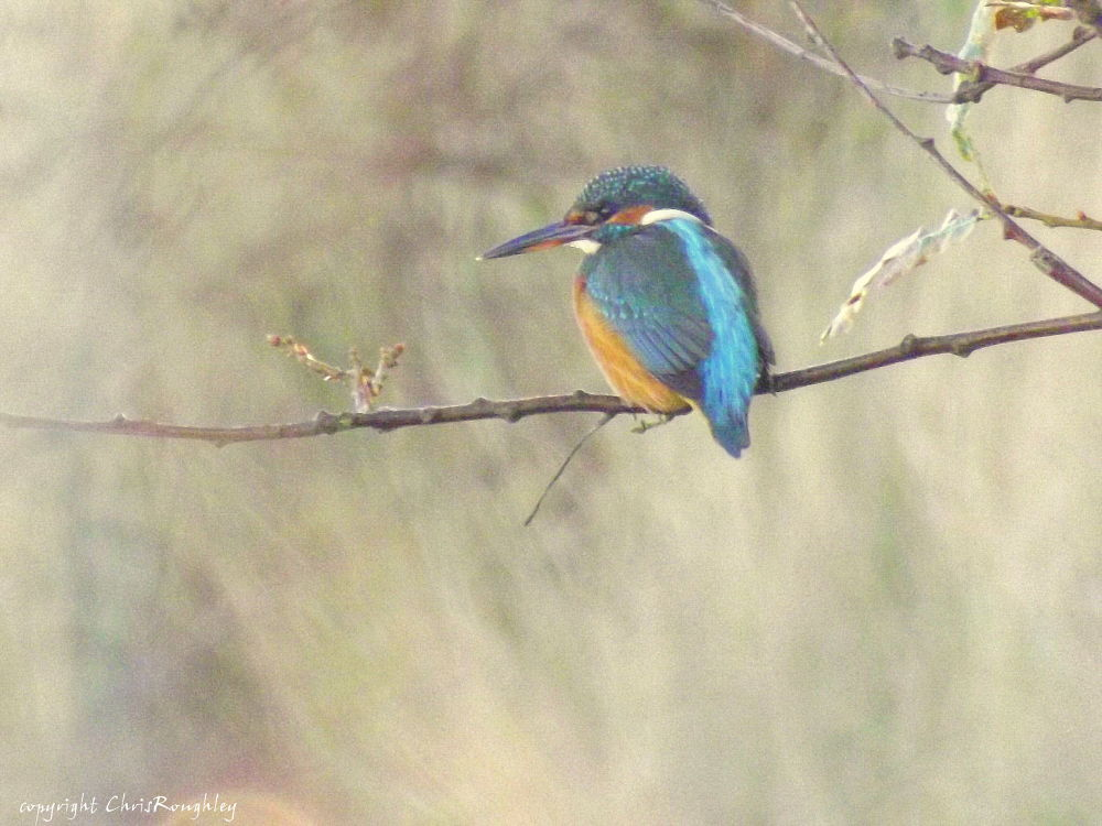 Kingfisher by Chris Roughley