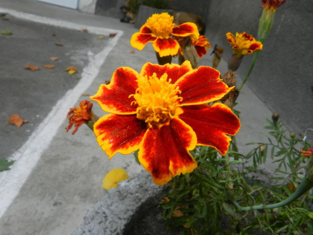 marigold by ny_kasyanchuk