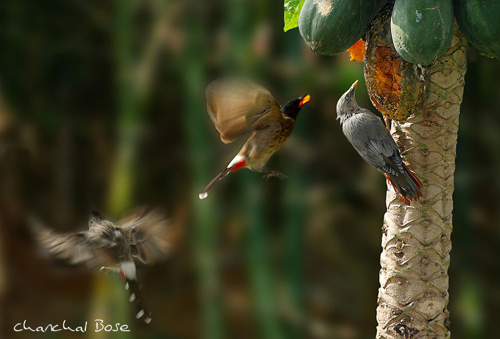 Birds by Chanchal Bose