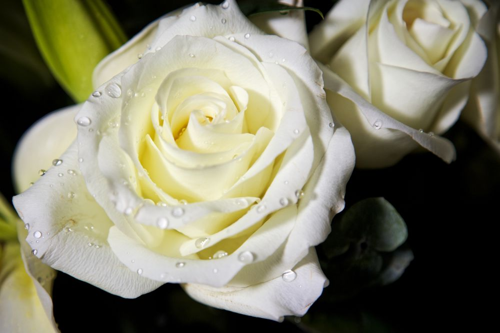Photo in Nature #flower #rose #white
