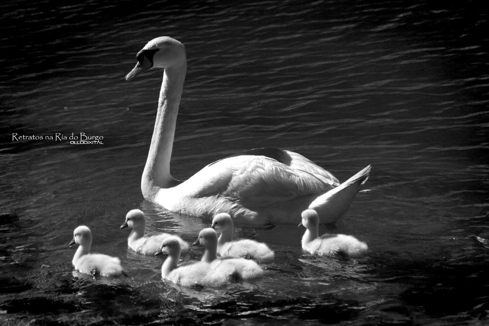 Swan family by OlloDixital