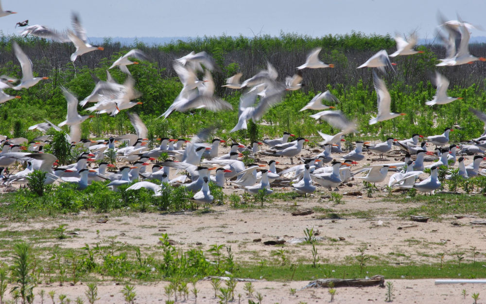 Flock of Terns by rnspicer