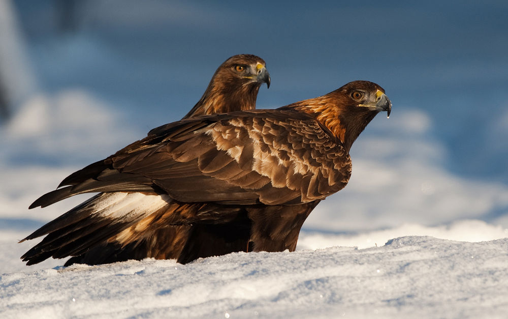 Golden Eagles - male and female by svenoergaard