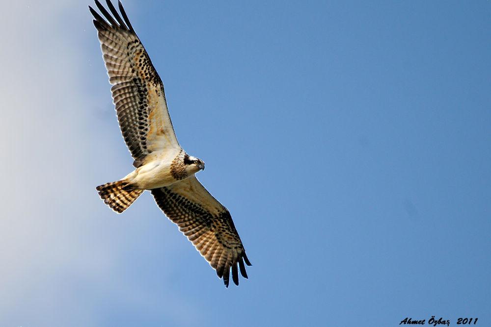 Osprey by Tema