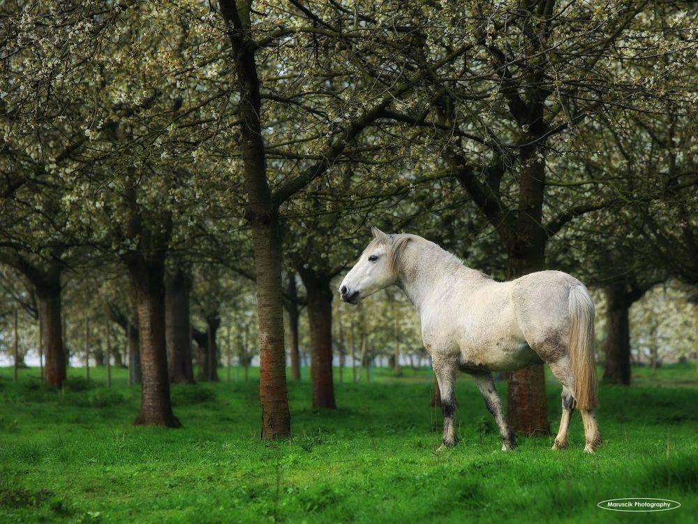 Proud Stallion by Maruscik_Photography