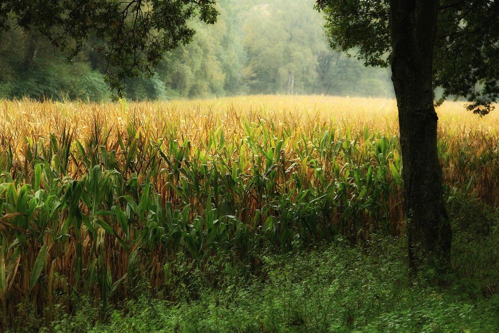 Golden cornfield by Maruscik_Photography