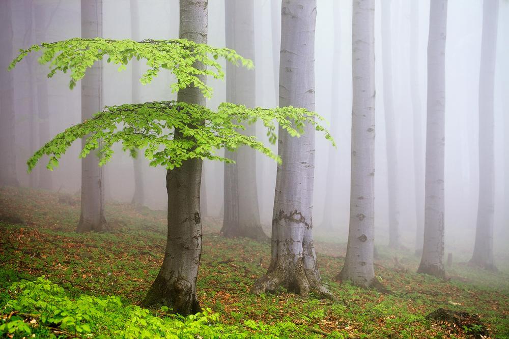 Photo in Landscape #beech #forest #spring #green #mist #fog #trunks #czech republic #nature #lush #fresh #atmosphere #landscape #photography #martin rak #fine art #leaves