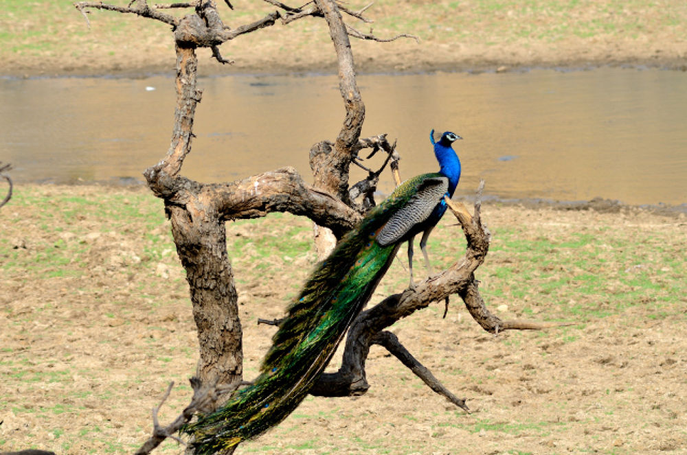 The Indian Peafowl (Indian National Bird) by manjot13