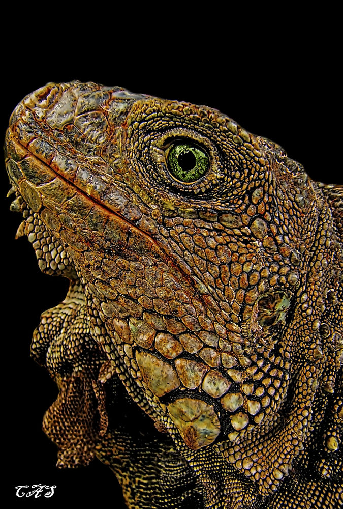 iguana carlos by Carlos Salcedo