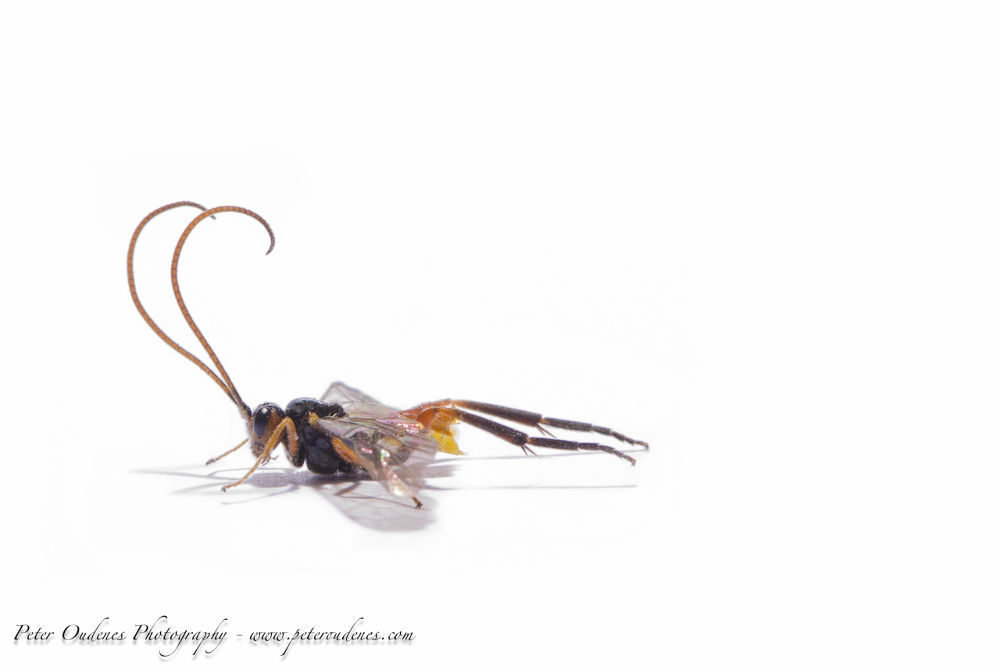 Strange Insect / Fly by poudenes