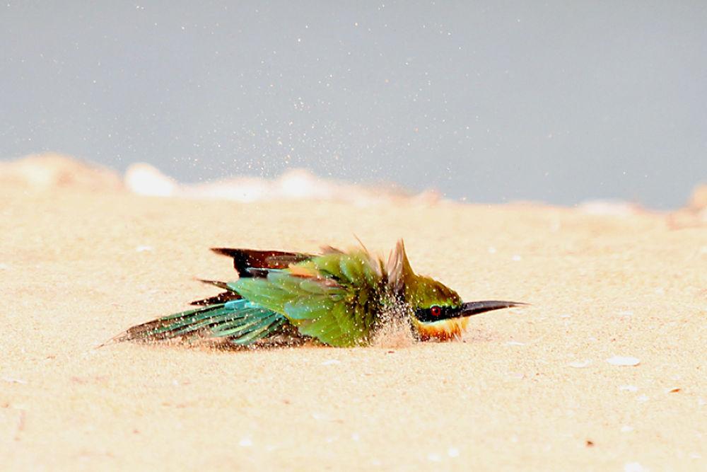 'Sand Bath' .... Blue Tailed Bee Eater by nithyapurush