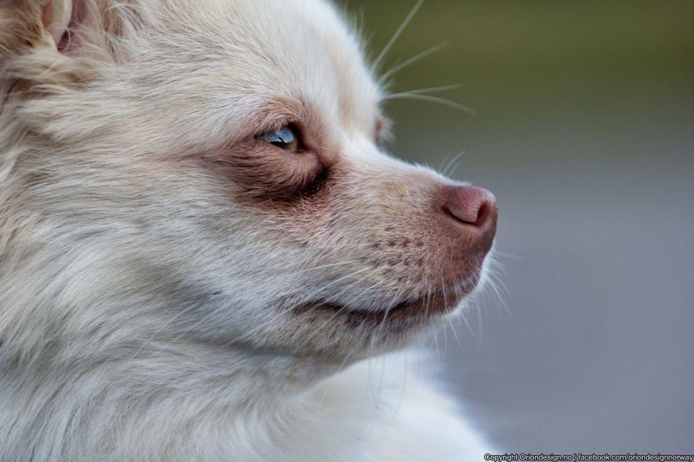 Photo in Animal #chihuahua #dog #animal
