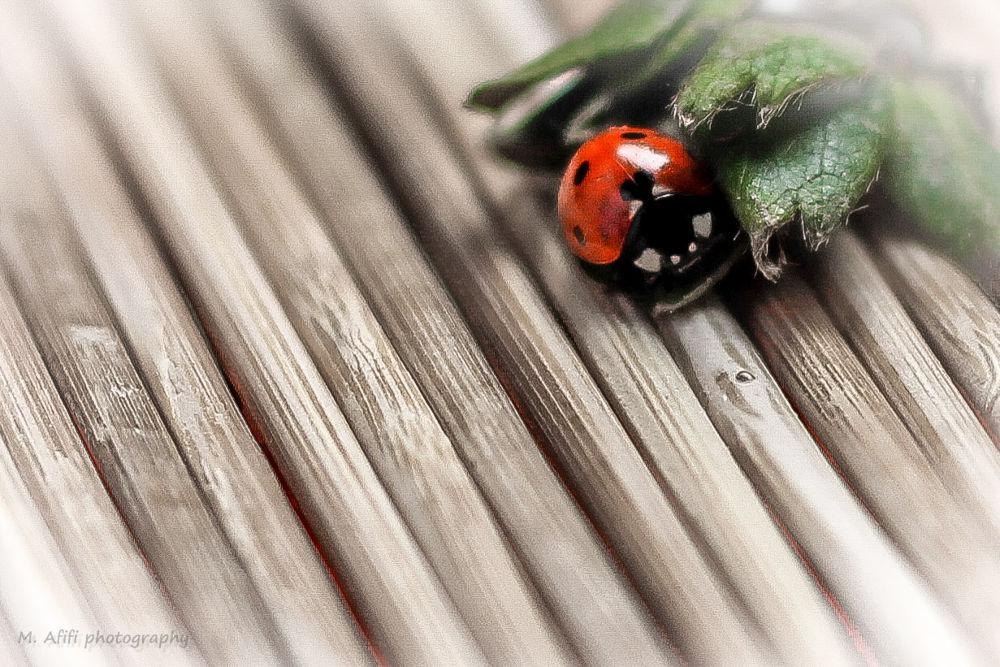 Lady Beetle-2 by M. Afifi