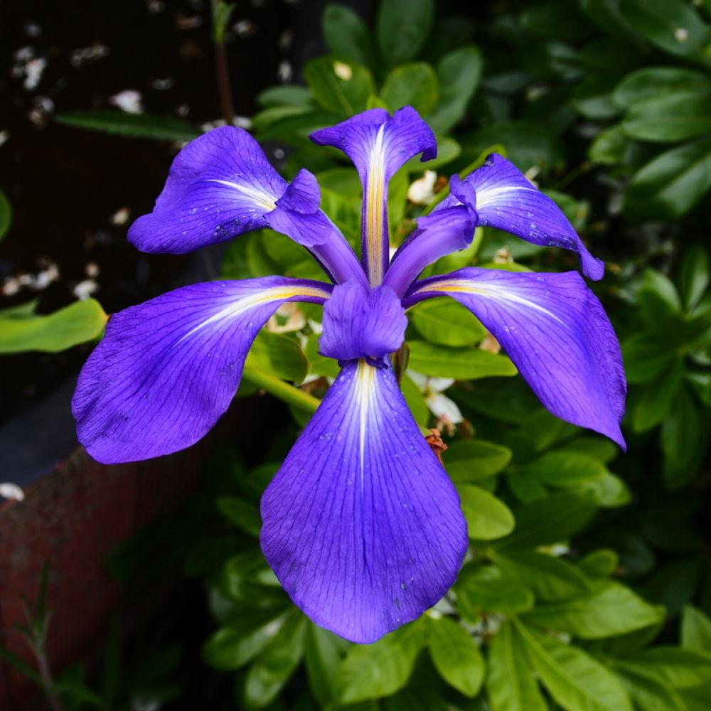 iris  by leotempo