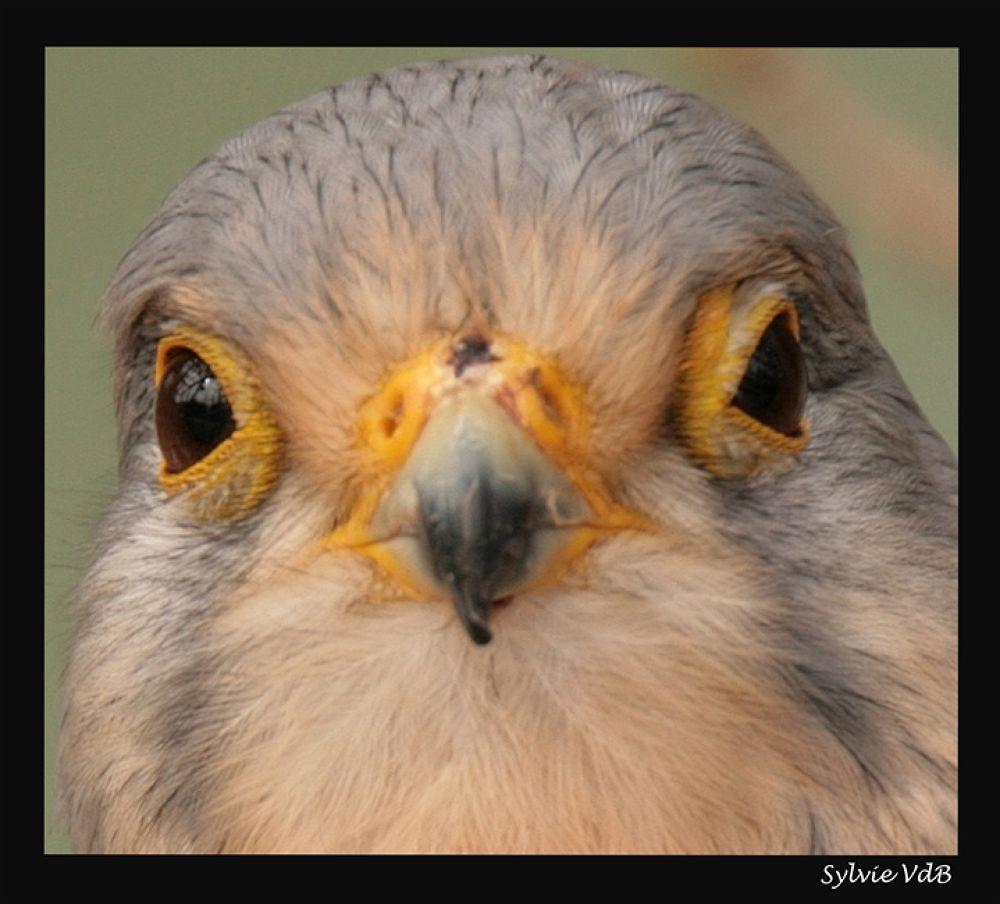 Birdseye by sylvievdbphotography