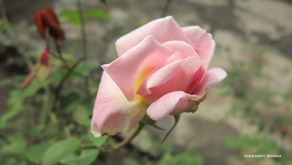 Flower of my garden by subhamoy mishra