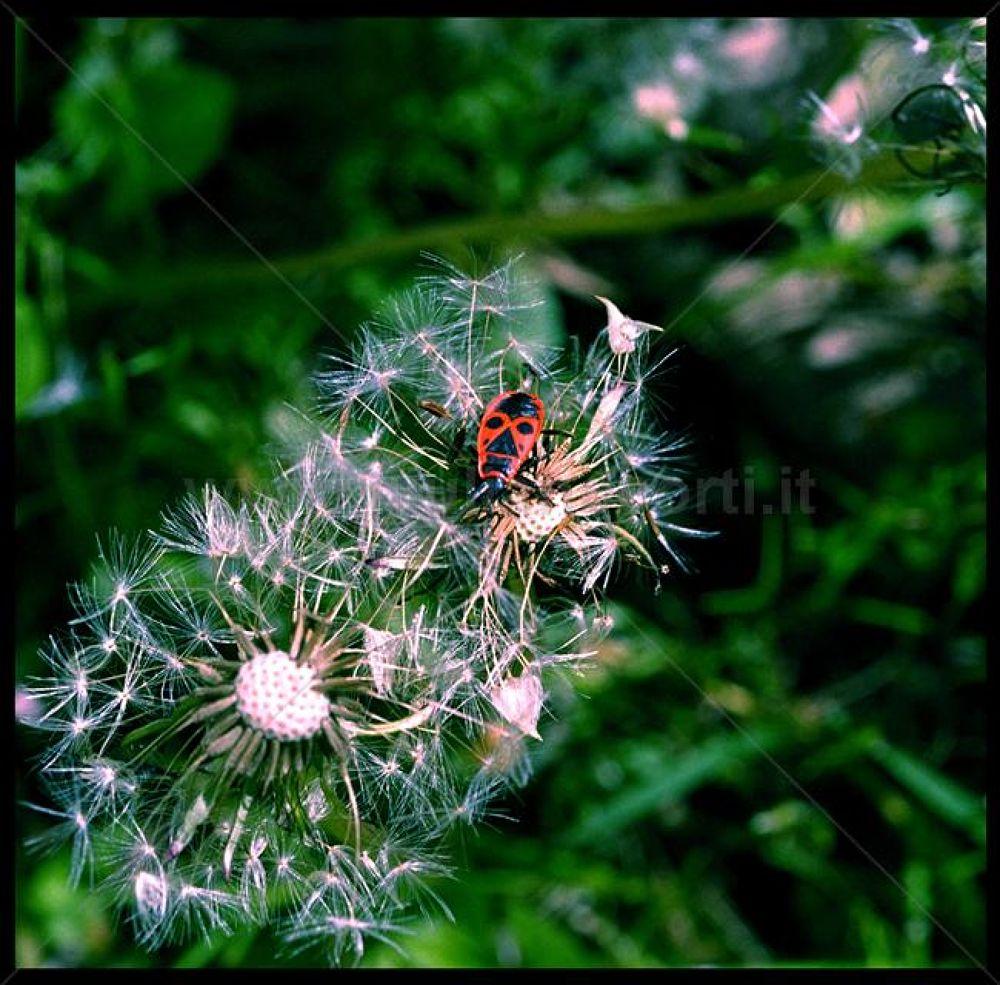 Fiore-con-insetto-23--2 by Giuliano_Corti