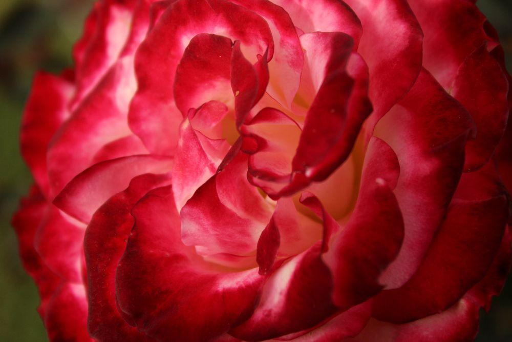 Inside a rose by Krishnan Vaitheeswaran