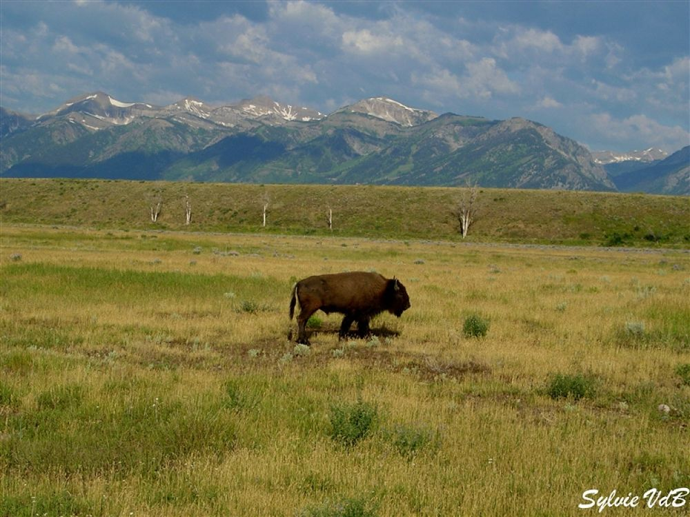 Bisson Grand Teton NP USA by sylvievdbphotography
