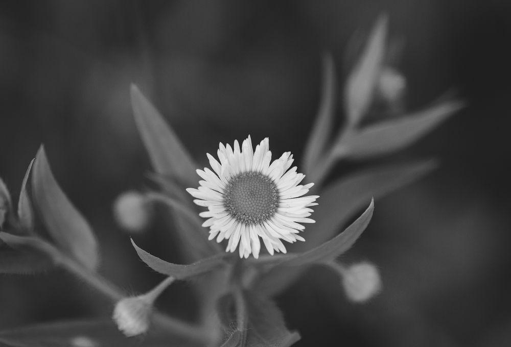 Flower, romashka by Oleksii Voronchikhin