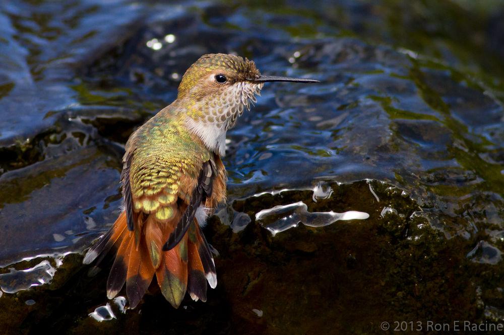 Hummingbird by RonERacine