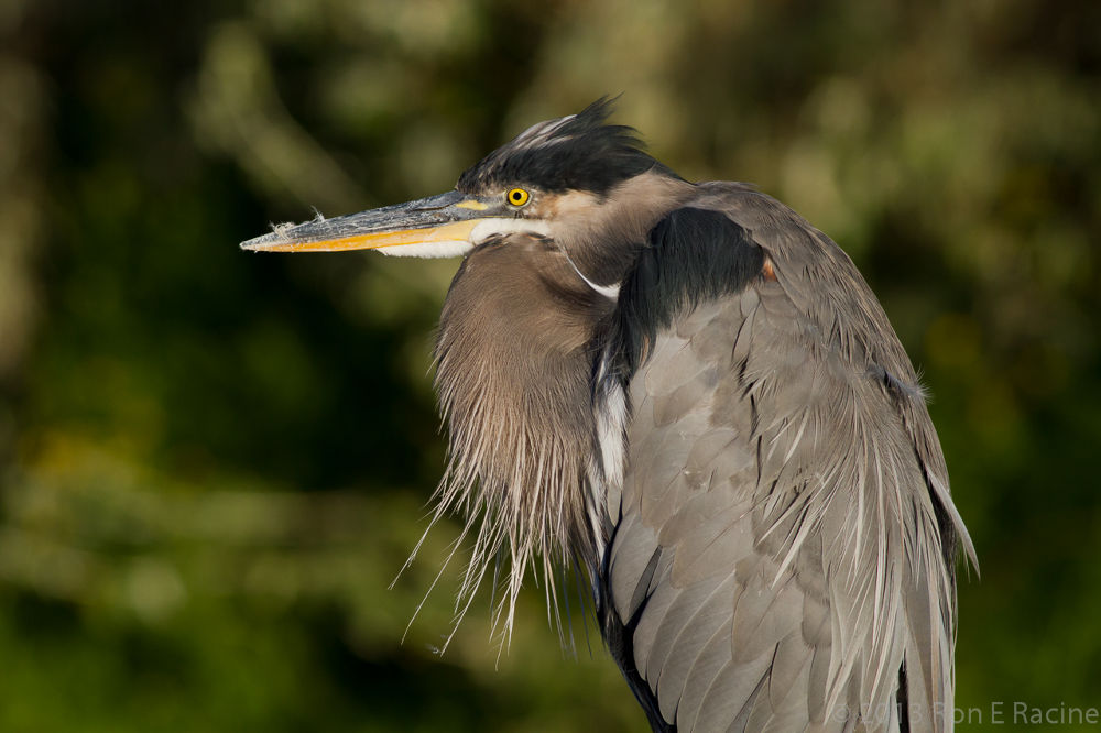 Wise Old Heron by RonERacine