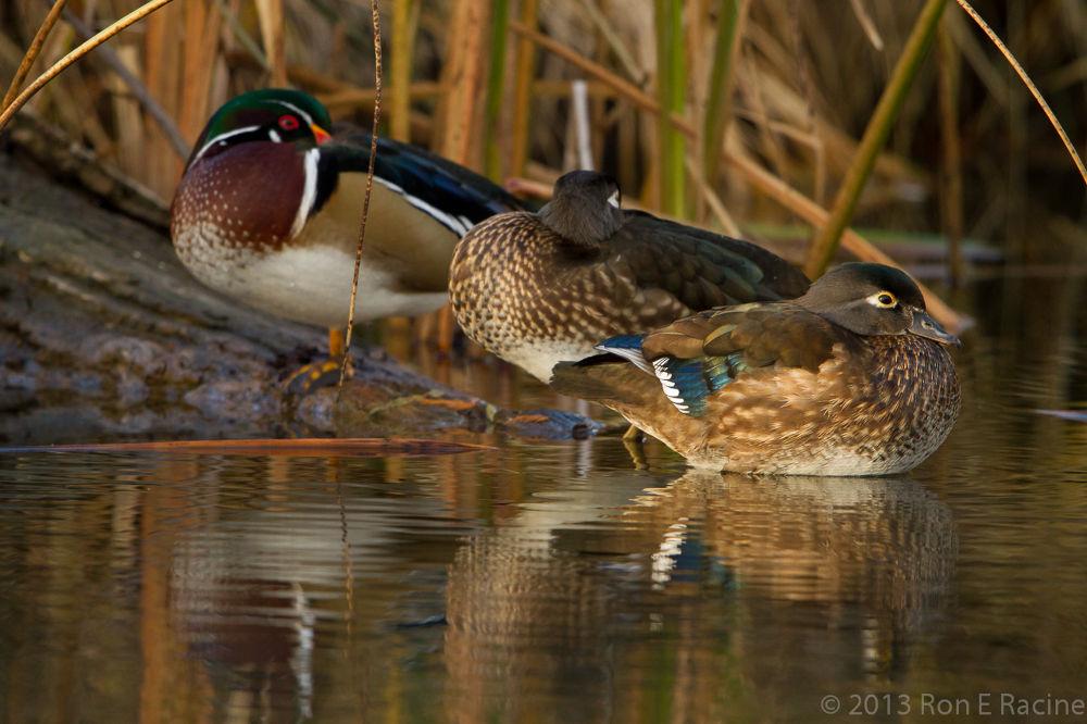 Wood Ducks by RonERacine
