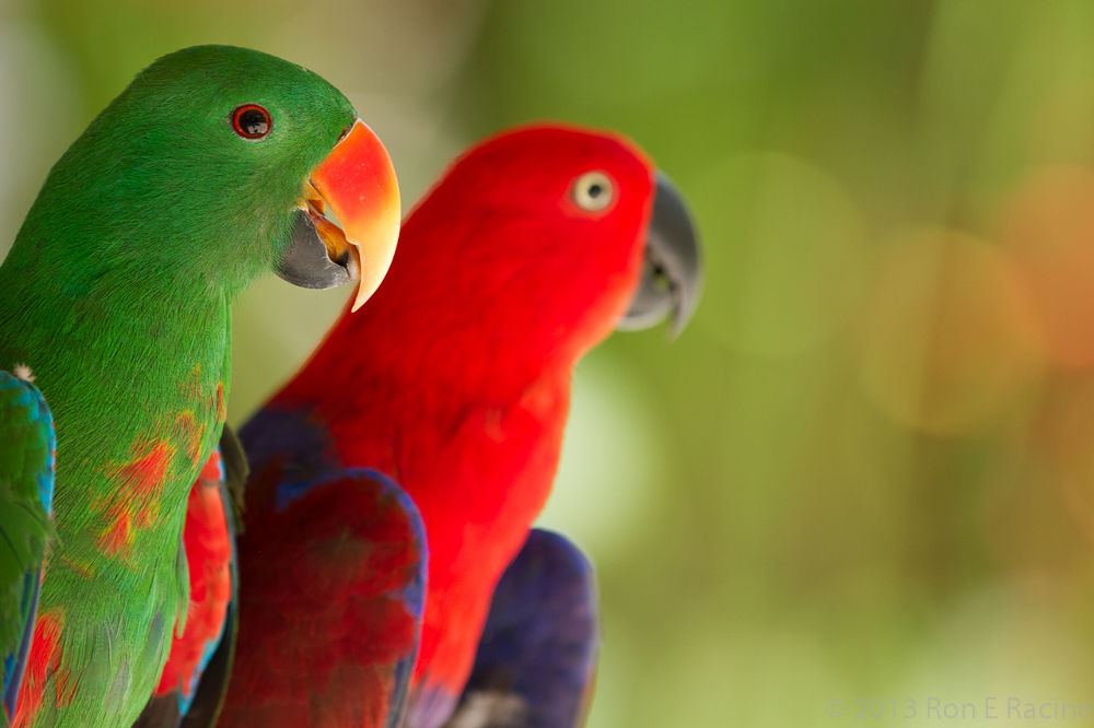 Colorful Parrots by RonERacine
