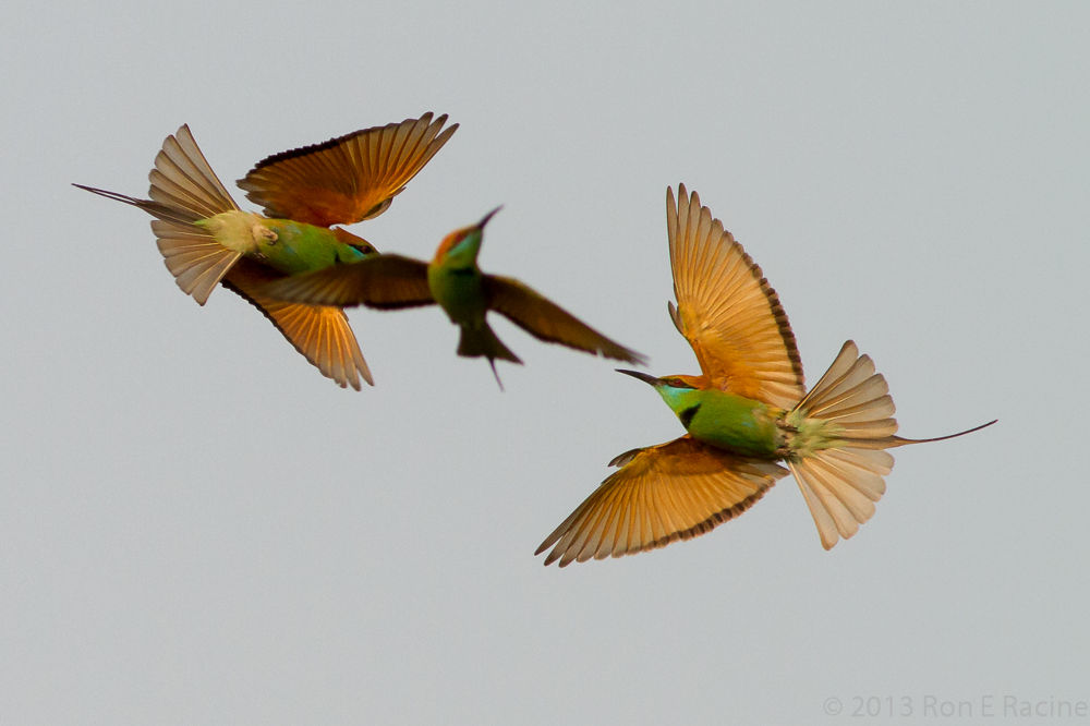 Green Bee-Eaters Playing by RonERacine