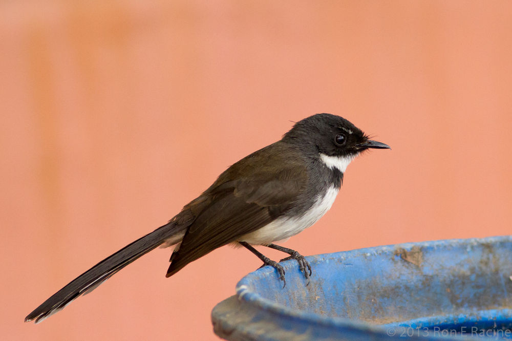 Pied-Fantail by RonERacine