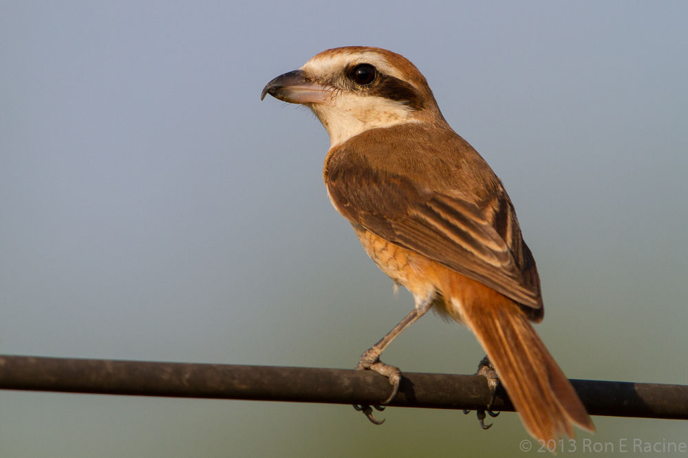 Brown Shrike by RonERacine